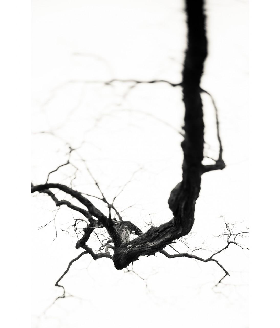 12_Centenial Tree #1